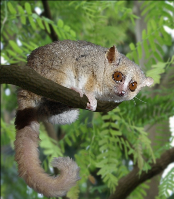 Lemur Swinger (courtesy livescience)